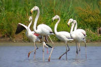 flamingoes in Wetlands in the Mugla province